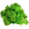 Lichen scandinave vert pomme
