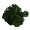 Lichen scandinave vert sapin